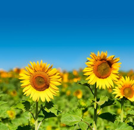 helianthus annuus: Beautiful landscape with sunflower    Helianthus annuus  field over blue sky Room for text Stock Photo