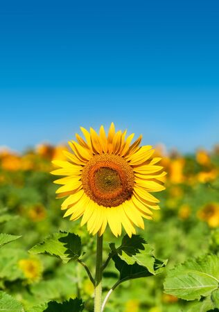 room for text: Beautiful landscape with sunflower    Helianthus annuus  field over blue sky Room for text Stock Photo