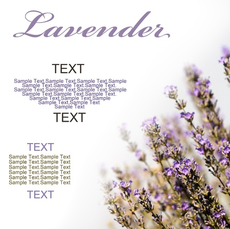 fragrant scents: Lavender flowers on white Background Room for text Stock Photo