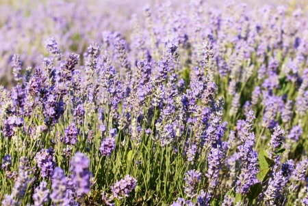 Beautiful detail of a lavender flowers field.scented flowers in the lavender fields of the Veliki Preslav region in Bulgaria photo