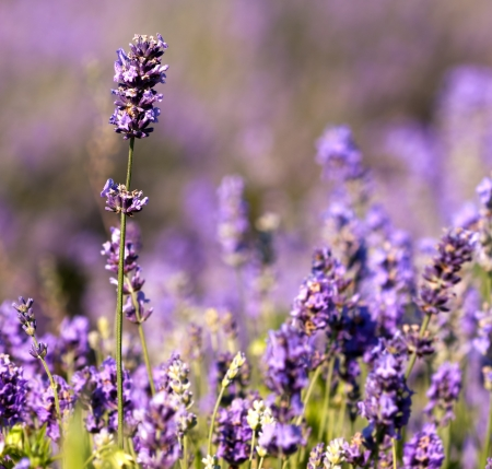 Beautiful detail of a lavender flowers field.scented flowers in the lavender fields of the Veliki Preslav region in Bulgaria photo