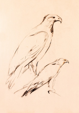 Original pencil or drawing charcoal and  hand drawn, working  sketch of a falcon.Free composition photo