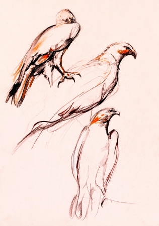 pencil sketch:  Original pencil or drawing charcoal and  hand drawn, working  sketch of a falcon.Free composition Stock Photo