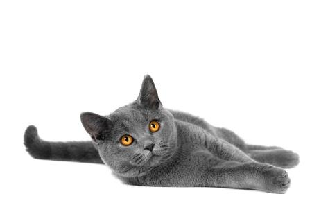 Hermoso interior gris o azul gato británico de pelo corto con ojos amarillos sobre un fondo blanco