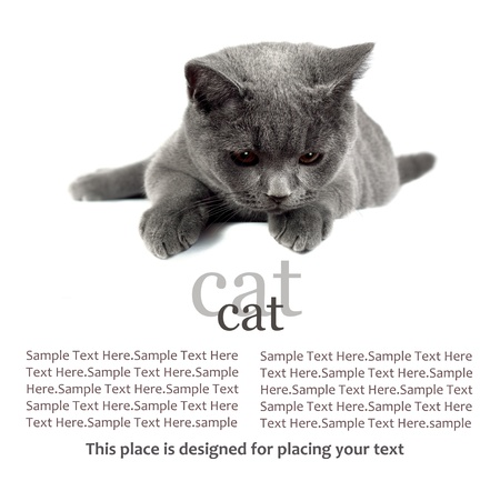 pussy yellow: Beautiful domestic gray or blue British short hair cat with yellow eyes looking down  on a white banner