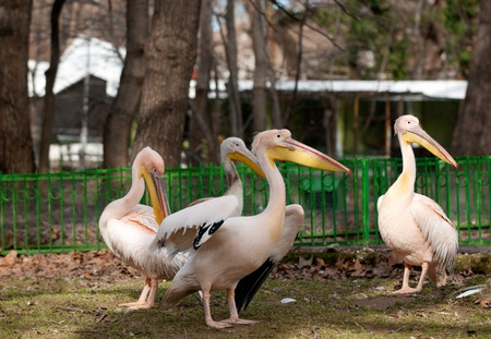 Group of four Pelicans, Pelecanus onocrotalus Stock Photo - 17697445
