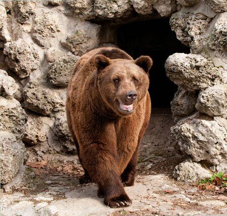 arctos: Brown bear  Ursus arctos  front view