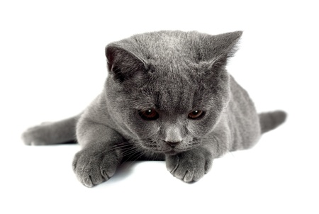 gray eyes: Beautiful domestic gray or blue British short hair cat with yellow eyes looking down  on white background