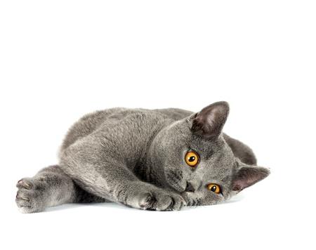 Mooie binnenlandse grijze of blauwe Britse kort haar kat met gele ogen op een witte achtergrond