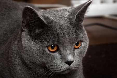 pussy yellow: Beautiful domestic gray or blue British short hair cat with yellow or golden  eyes