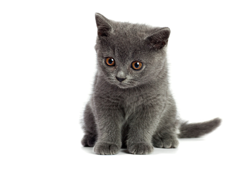 british short hair: Beautiful domestic gray or blue British short hair cat or kitten  with yellow or golden  eyes on white background