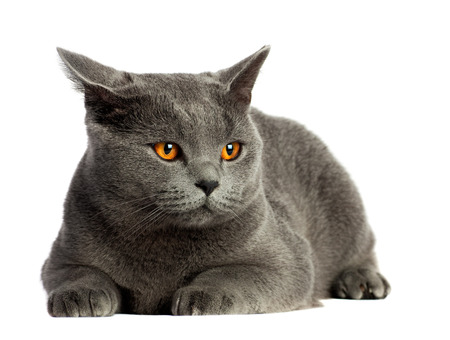 british short hair: Beautiful domestic gray or blue British short hair cat with yellow or golden  eyes looking scared on white background