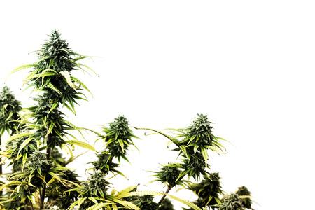 leaf marijuana: La parte superior de la planta de marihuana aislado sobre fondo blanco