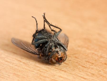 dead animal: Macro shot of a dead dusty housefly lying upside down