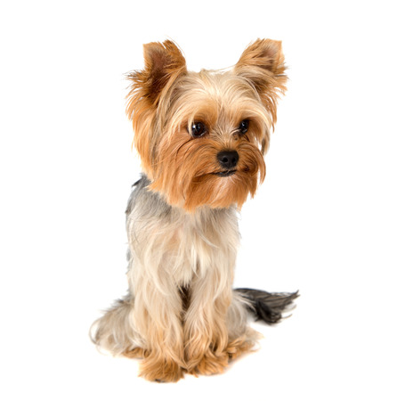 yorky: Portrait of Yorkshire terrier pure breed on white background