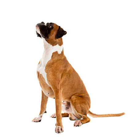 pure breed: German Fawn-colored Boxer dog, pure breed on white background