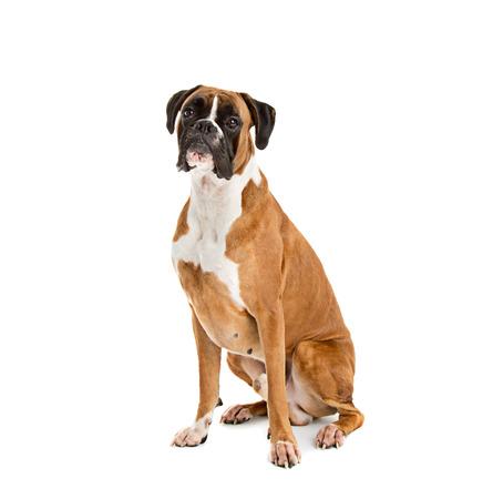 perro boxer: Fawn color alemán del perro del boxeador, raza pura en el fondo blanco