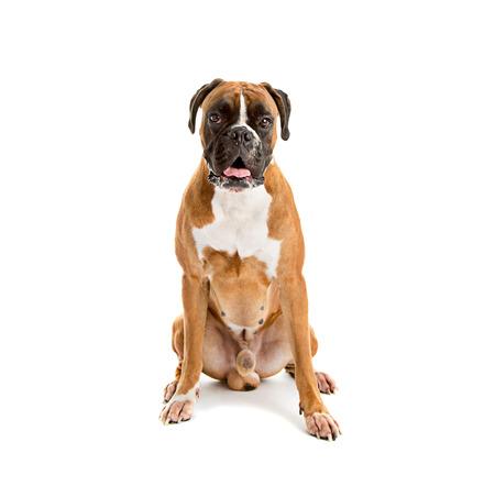 boxer dog: Fawn color alem�n del perro del boxeador, raza pura en el fondo blanco
