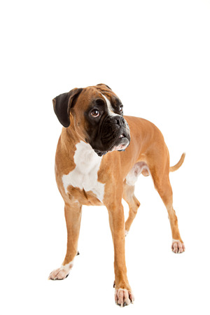 white playful: German Fawn-colored Boxer dog, pure breed on white background