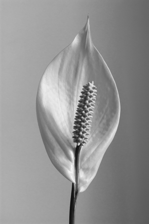 Houseplant - Spathiphyllum floribundum (Peace Lily). White Flower.Black and white,B&W Stock fotó