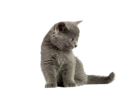 Beautiful domestic gray or blue British short hair cat or kitten  with yellow or golden  eyes  isolated on white background