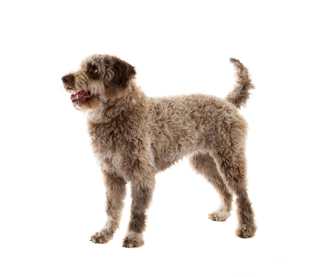 Lagotto romagnolo dog, pure breed isolated on white background Stock fotó - 103623051