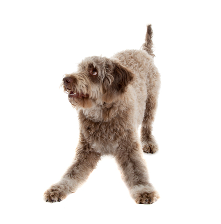 Lagotto romagnolo dog, pure breed isolated on white background Stock fotó - 103623052