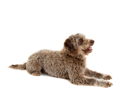 Lagotto romagnolo dog, pure breed  on white background Stock fotó - 103623053