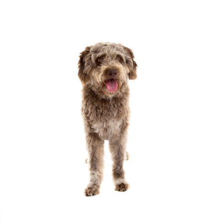 Lagotto romagnolo dog, pure breed isolated on white background Stock fotó - 103623054