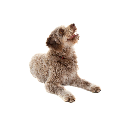 Lagotto romagnolo dog, pure breed isolated on white background Stock fotó - 103623055