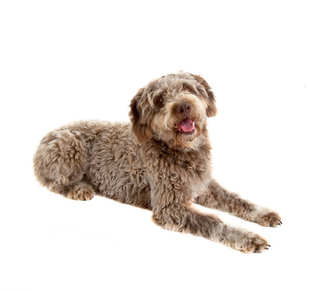 Lagotto romagnolo dog, pure breed isolated on white background