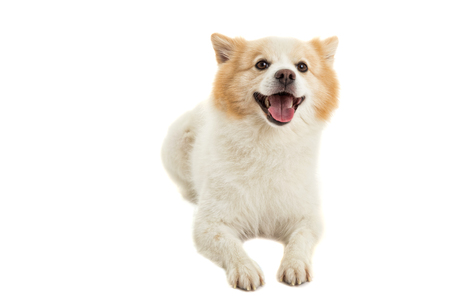 Spitz dog, pure breed on white background