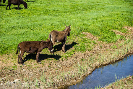 Two donkeys beside  small stream in the meadow