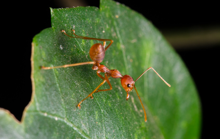 red ant: red ant on leaf Stock Photo
