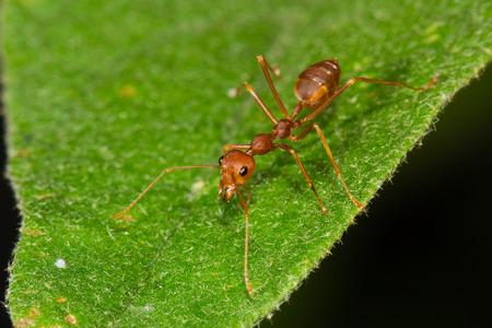 hormiga hoja: hormiga roja en la hoja Foto de archivo