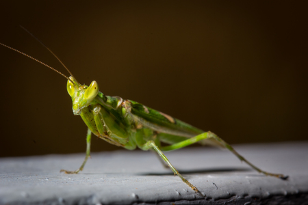 predatory insect: green mantis insect close up