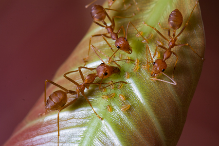 temperate region: red ants and aphids on leaf