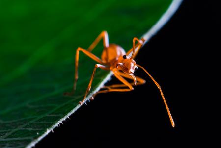 hormiga hoja: hormiga roja linda en la hoja verde Foto de archivo