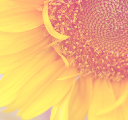 blur sweet and soft half of sunflower background Stock Photo