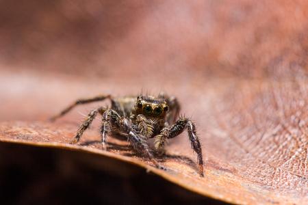 dried leaf: jumping spider on dried leaf