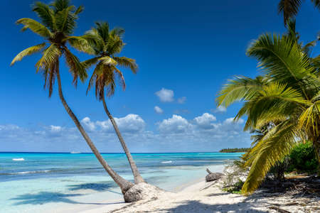 turquoise water: Caribbean Beach with Palm Trees, Turquoise Water and White Sand