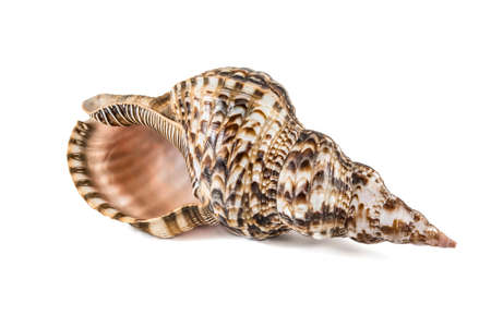 Shell, Conch Shell, Queen Conch. Isolated on white.