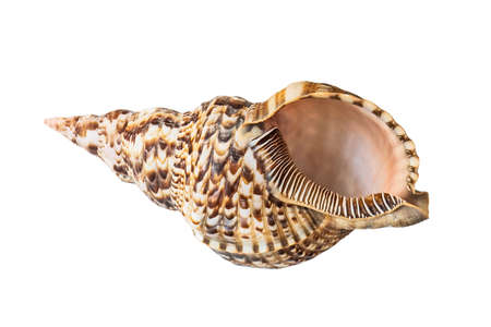 conch shell: Shell, Conch Shell, Queen Conch. Isolated on white.