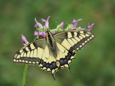 machaon: machaon butterfly on a flower Stock Photo
