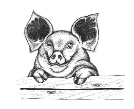 attentive: Pig looking over the fence. She has attentive eyes and big ears.   Illustration