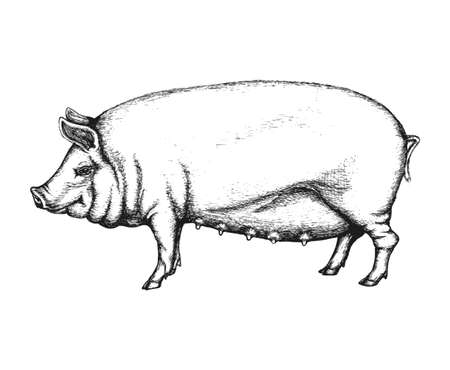 bacon art: Pig in hand drawn style. Vector illustration isolated on white background. Illustration