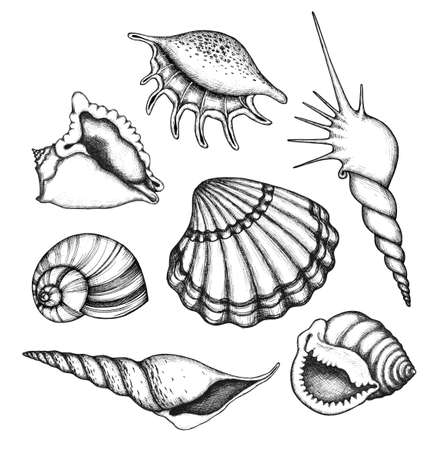 conch: Sea shells set. Collection of hand drawn design elements.
