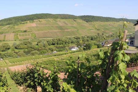 mosel: Mosel vineyard Germany   Stock Photo