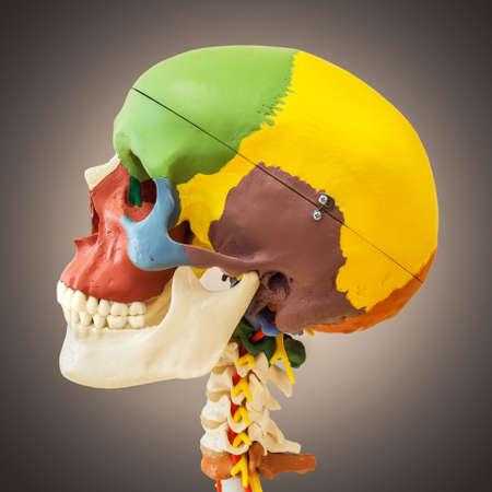 artificial teeth: anatomical dummy skull