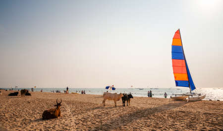 sailboard: Holy Indian cows relaxing on the sand of Calangute beach with the sailboards and tourists in North Goa, India